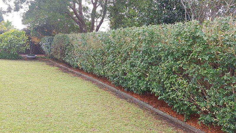 Hedge after Garden Renovation