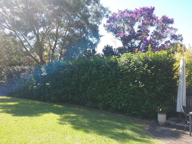 Hedge before Garden Renovation